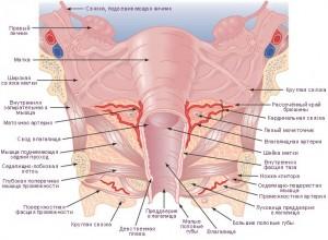 Анатомия матки