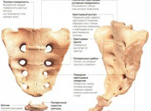 Анатомия крестцвого отдела позвоночника