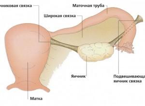 Как выглядят яичники